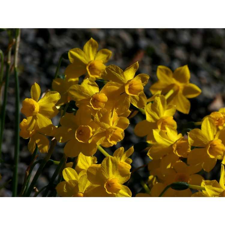 Narcissus jonquilla var. henriquesii