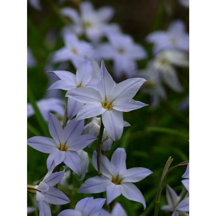 Ipheion uniflorum 'Wisley Blue' - spring star flower
