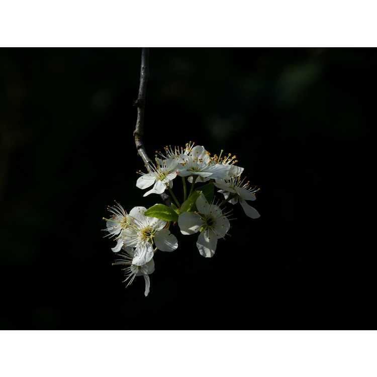 Prunus mexicana - Mexican plum