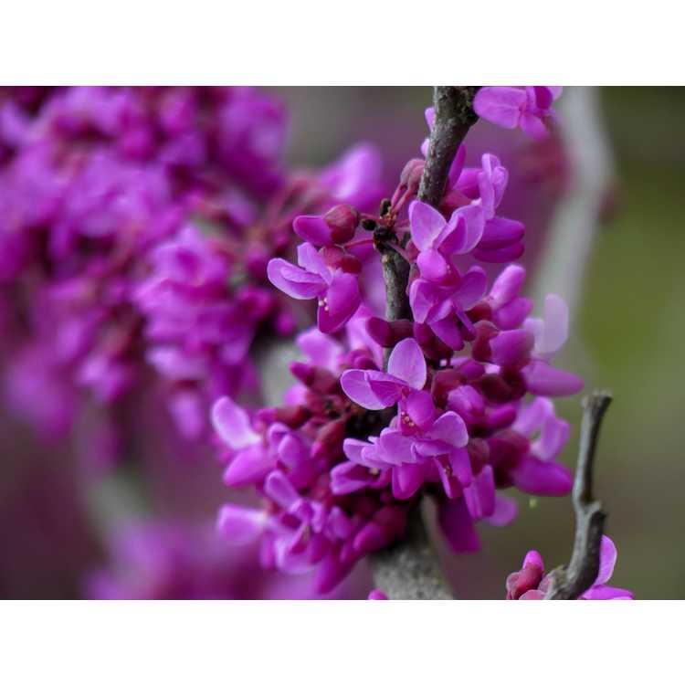 Cercis canadensis var. texensis 'Oklahoma' - dark-flowered Texas redbud