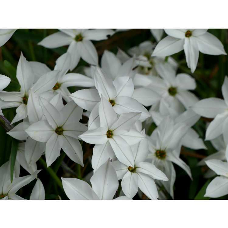 Ipheion 'Alberto Castillo' - star flower