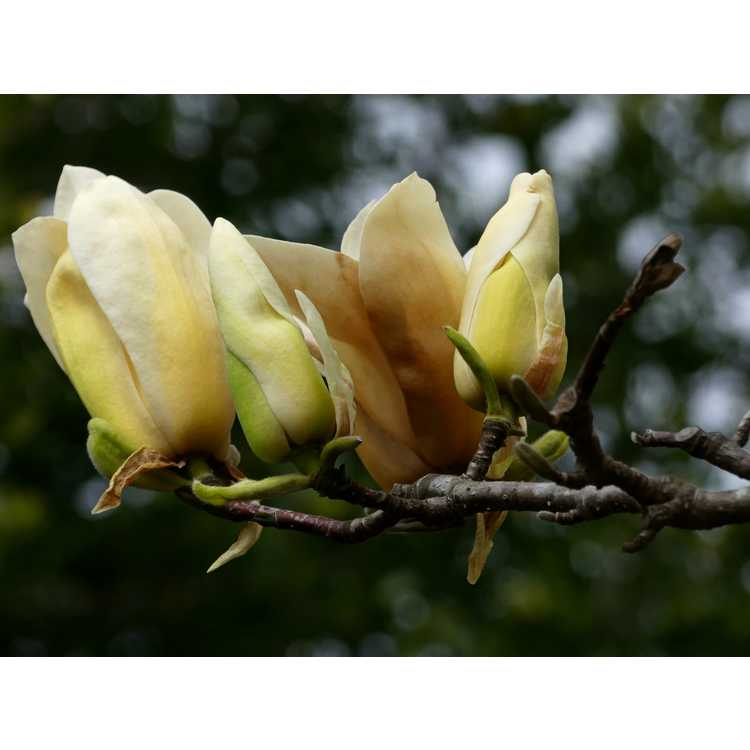 Magnolia 'Legend' - Leach hybrid magnolia