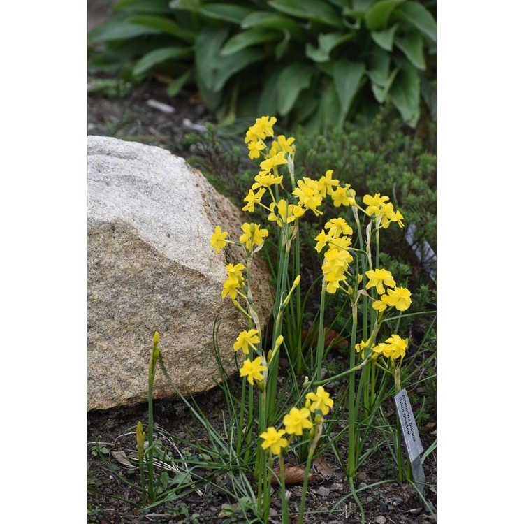 Narcissus fernandesii cordubensis
