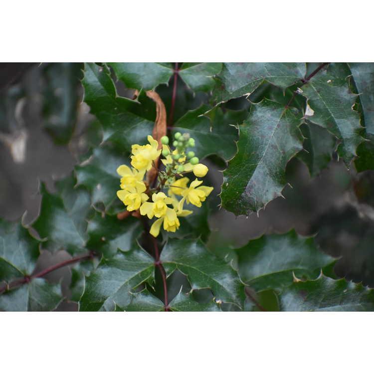 Mahonia 'Skylark' - hybrid grape holly