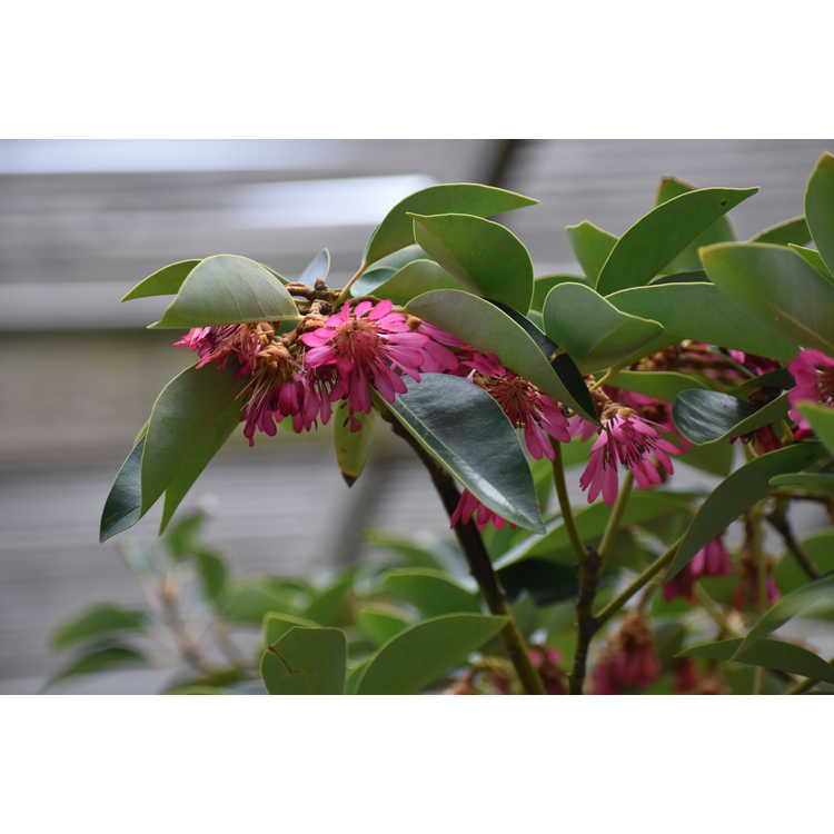 Rhodoleia henryi Takeshitasei