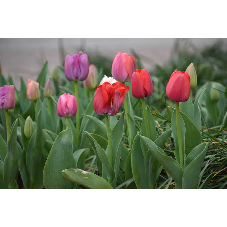 Tulipa Pride Mixture