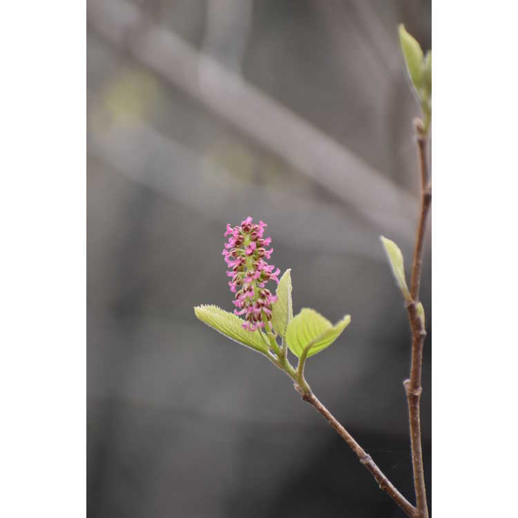 Fortunearia sinensis - Fortune-hazel