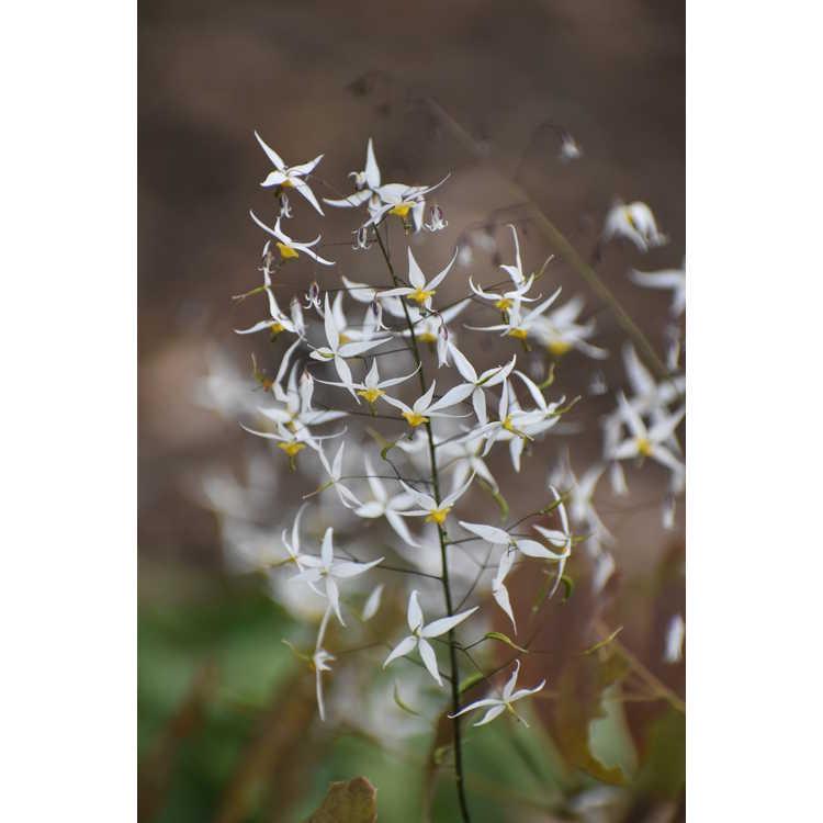 Epimedium stellulatum - star-shaped fairy wings