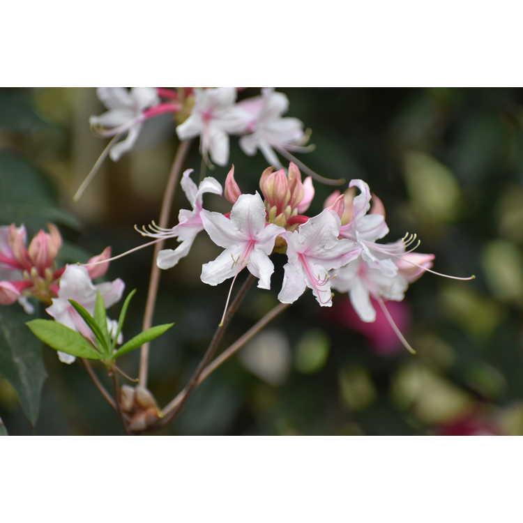 Rhododendron 'Spring Sensation' - Aromi hybrid azalea
