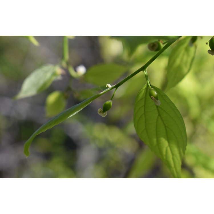 Celtis sinensis Green Cascade