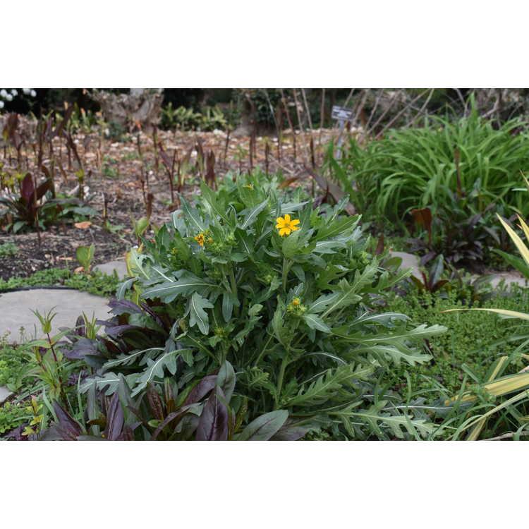 Engelmannia peristenia 'Bergheim' - Engelmann's daisy