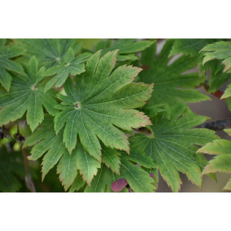 Acer japonicum 'Ô Isami'