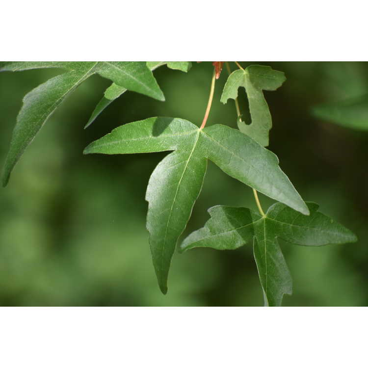 Acer pilosum var. stenolobum - stencilled maple