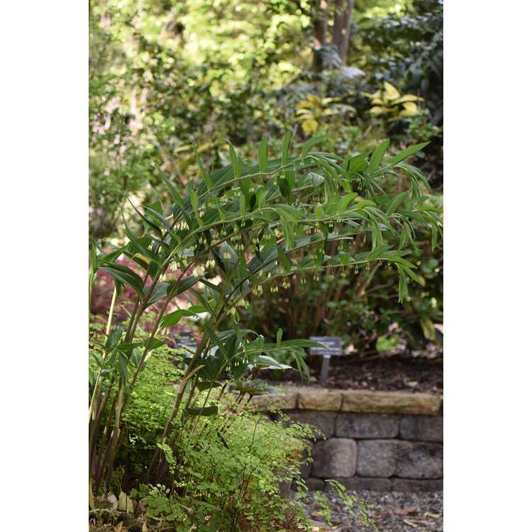 Polygonatum arisanense formosanum