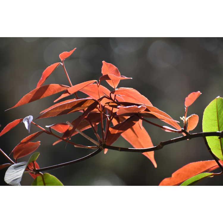 Acer laevigatum 'Hóng Lóng' - red dragon smoothleaf maple