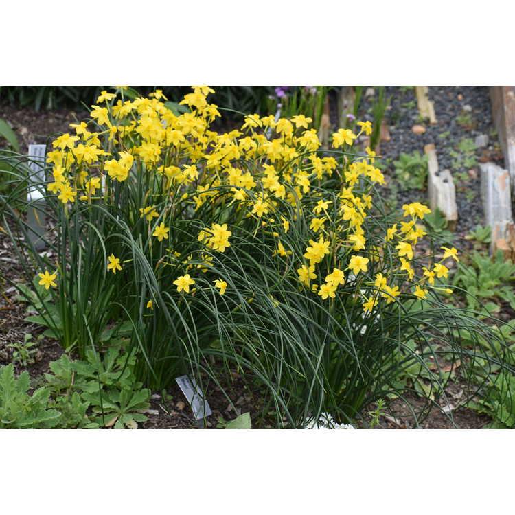 Narcissus 'Baby Moon' - miniature jonquilla daffodil