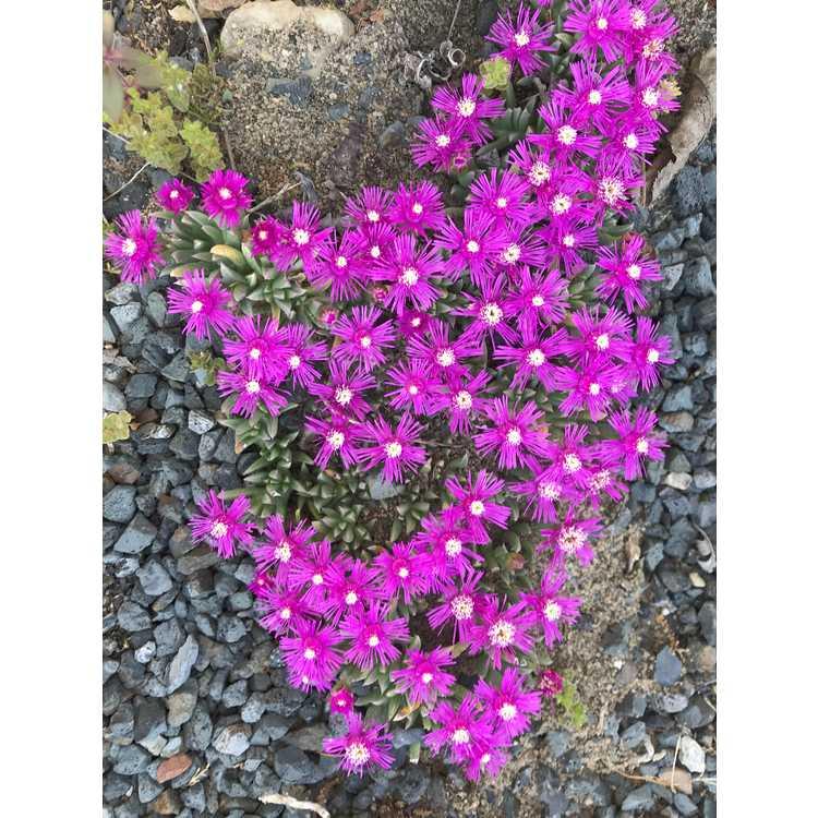 Ruschia pulvinaris - creeping ice-plant