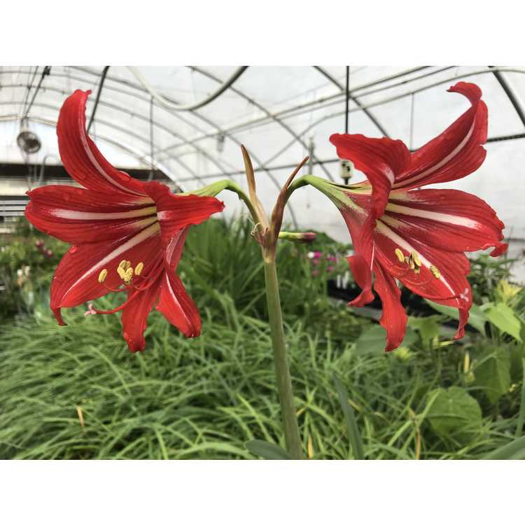 Hippeastrum ×johnsonii - St. Joseph's lily