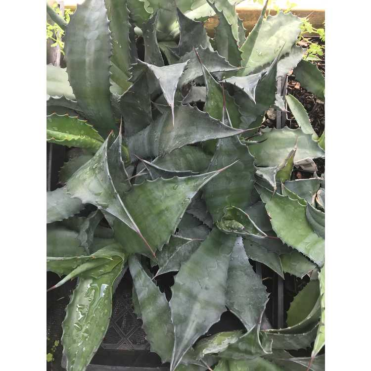 Agave - century plant
