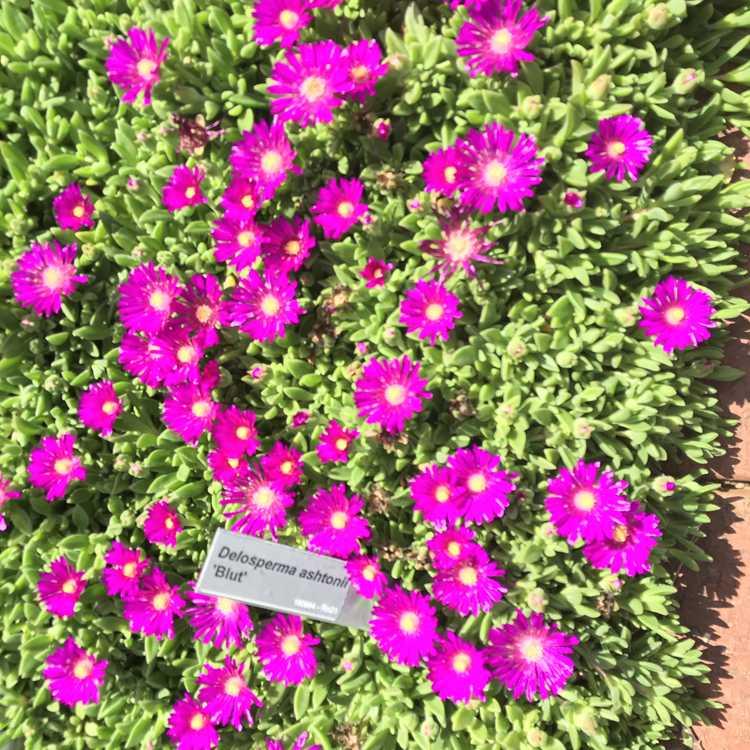 Delosperma ashtonii 'Blut' - hardy ice-plant