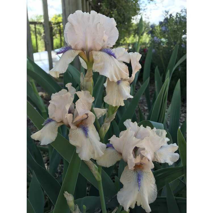 Iris 'Concertina' - intermediate bearded reblooming iris