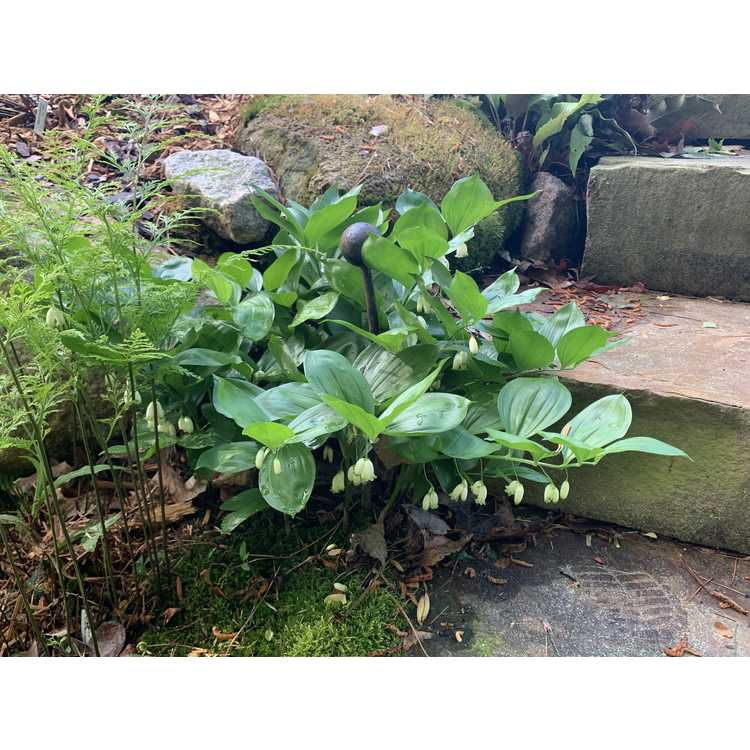 Polygonatum hirtum 'Heronswood'