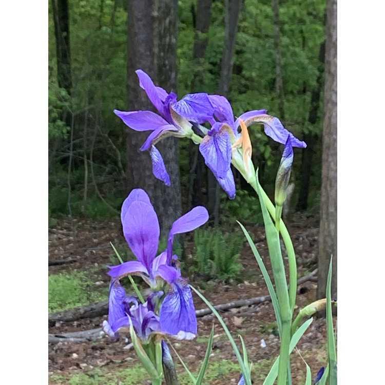 Iris pallasii