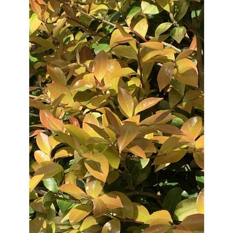 Camellia sasanqua (gold leaf)