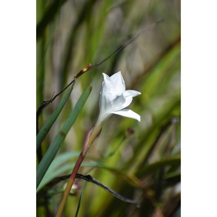 Zephyranthes drummondii (San Carlos form)