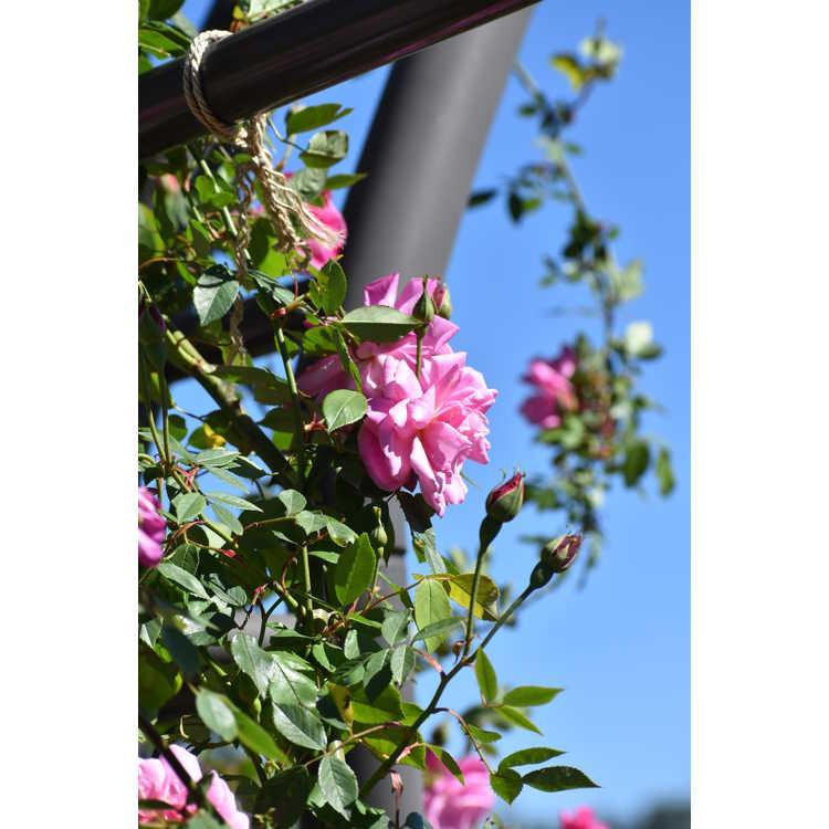Rosa 'Climbing Old Blush'