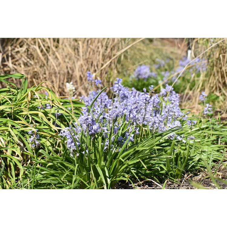 Hyacinthoides hispanica 'City of Haarlem'