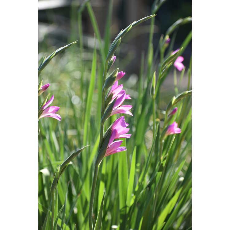 Gladiolus communis - gladiolus
