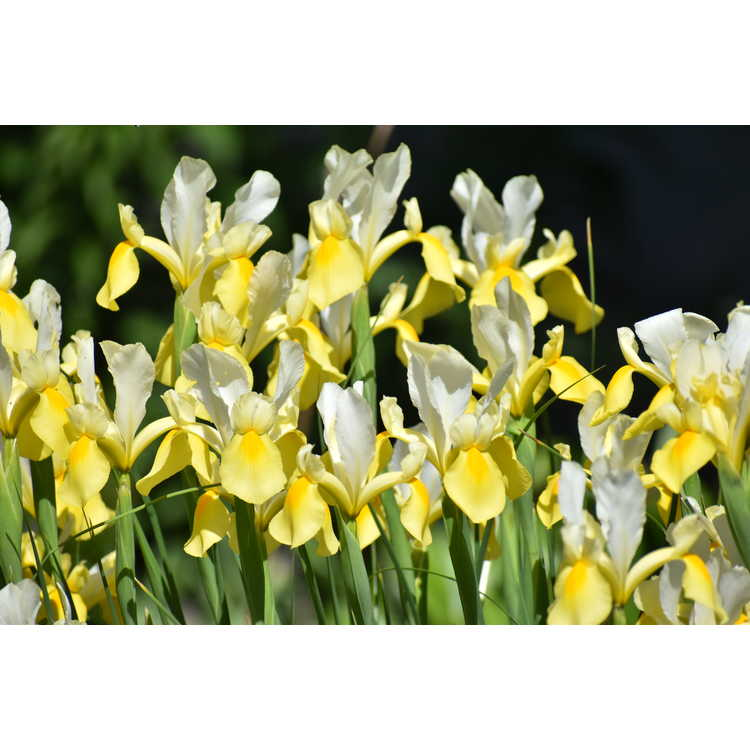 Iris 'Symphony' - tall bearded iris