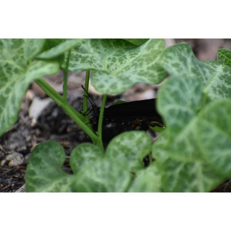 Aristolochia fimbriata - hardy Dutchman's pipe