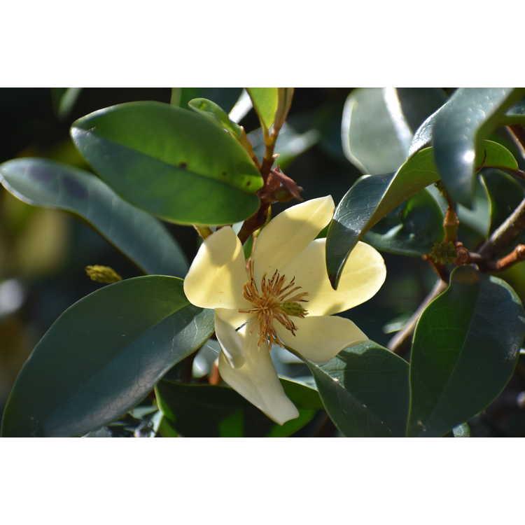 Magnolia 'Serendipity' - hybrid magnolia