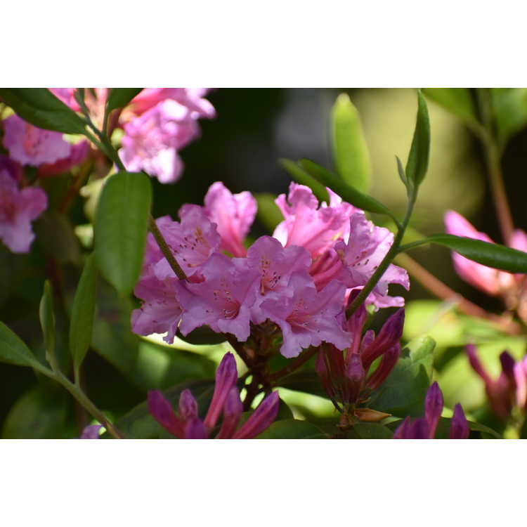 Rhododendron minus 'Southern Cerise'