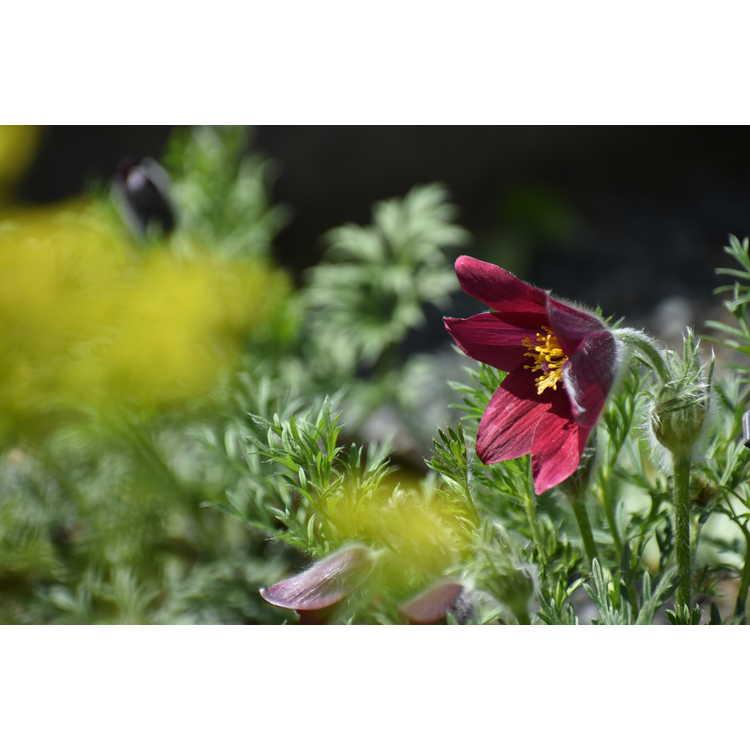 Pulsatilla vulgaris 'Rote Glocke' - Red Bells pasque flower