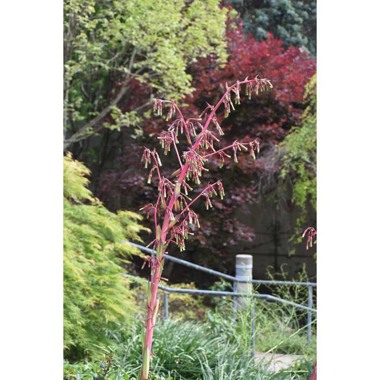 Beschorneria (B. dekosteriana × B. septentrionalis) × B. septentrionalis