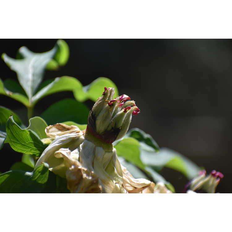 Paeonia suffruticosa 'Sahohine'
