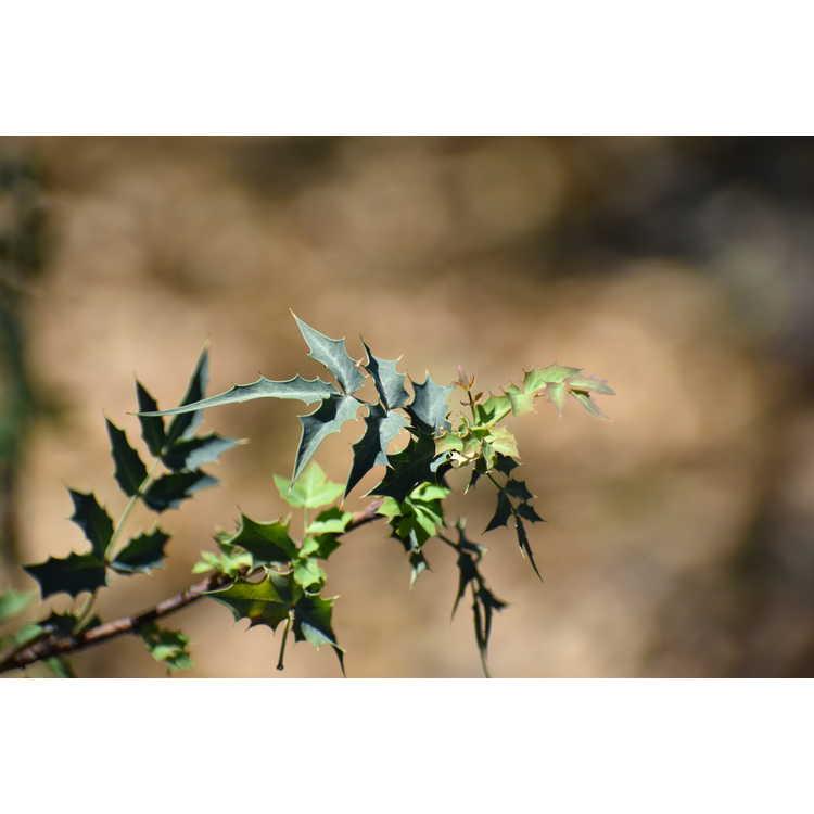 Mahonia haematocarpa