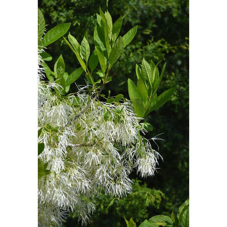 Chionanthus virginicus 'White Knight' - fringe tree
