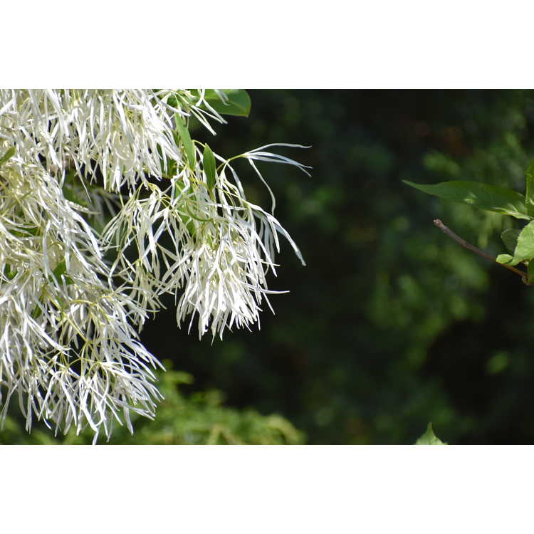 Chionanthus virginicus 'White Knight'