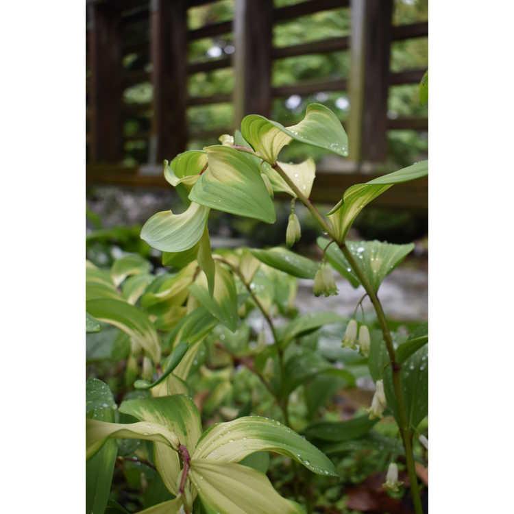 Polygonatum odoratum 'Byakko'
