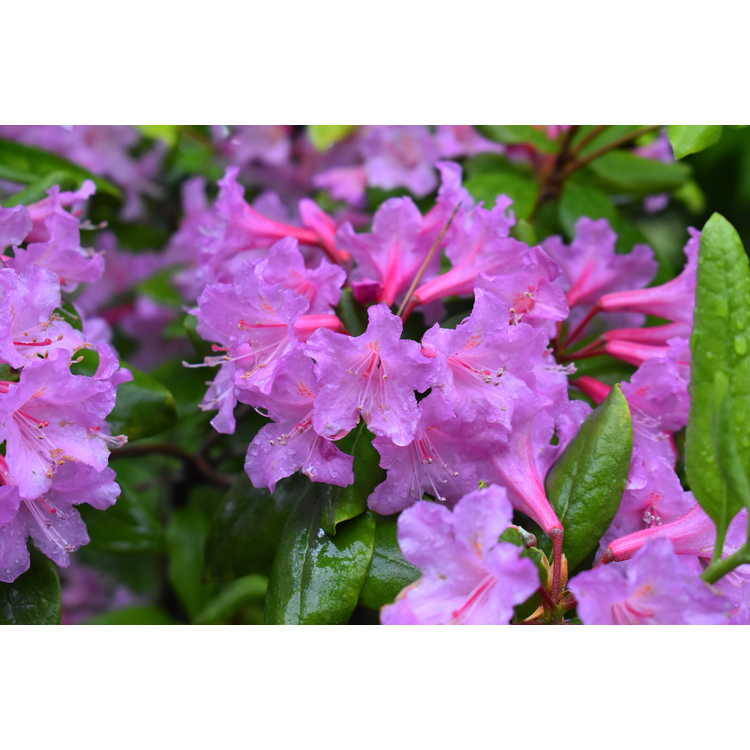 Rhododendron minus Southern Cerise
