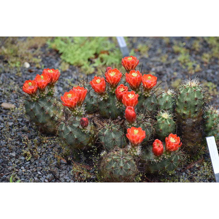 Echinocereus triglochidiatus - claret cup hedgehog cactus