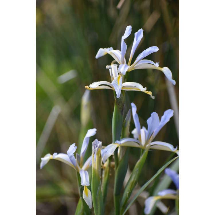 Iris spuria subsp. carthaliniae - spuria iris