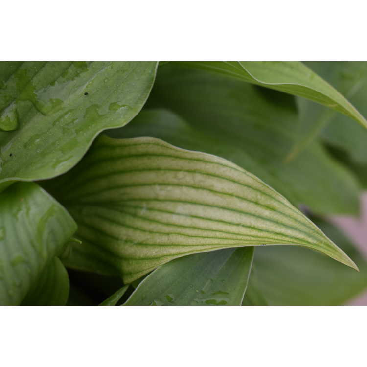 Hosta 'White Wall Tire'
