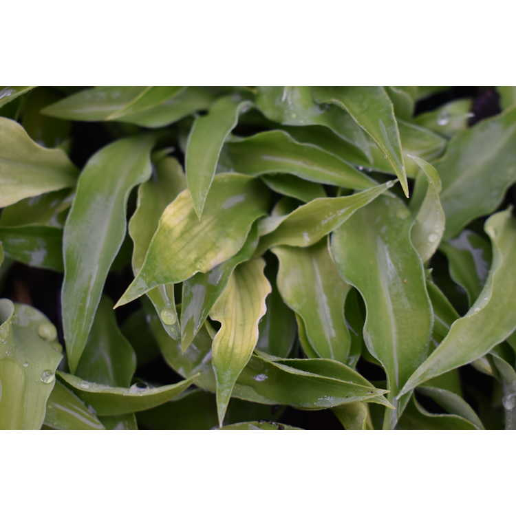 Hosta 'Green Ice'