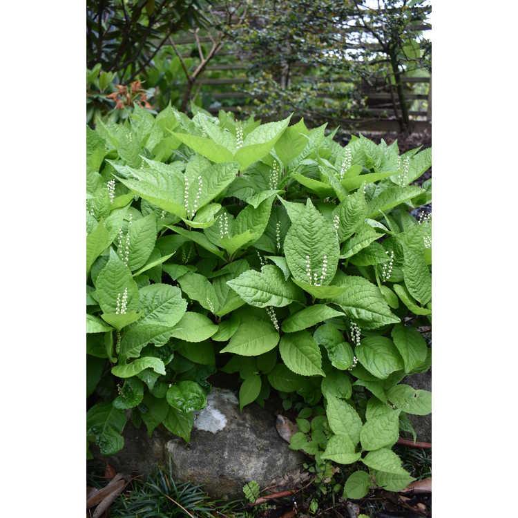 Chloranthus serratus - serrate-leaf chloranthus