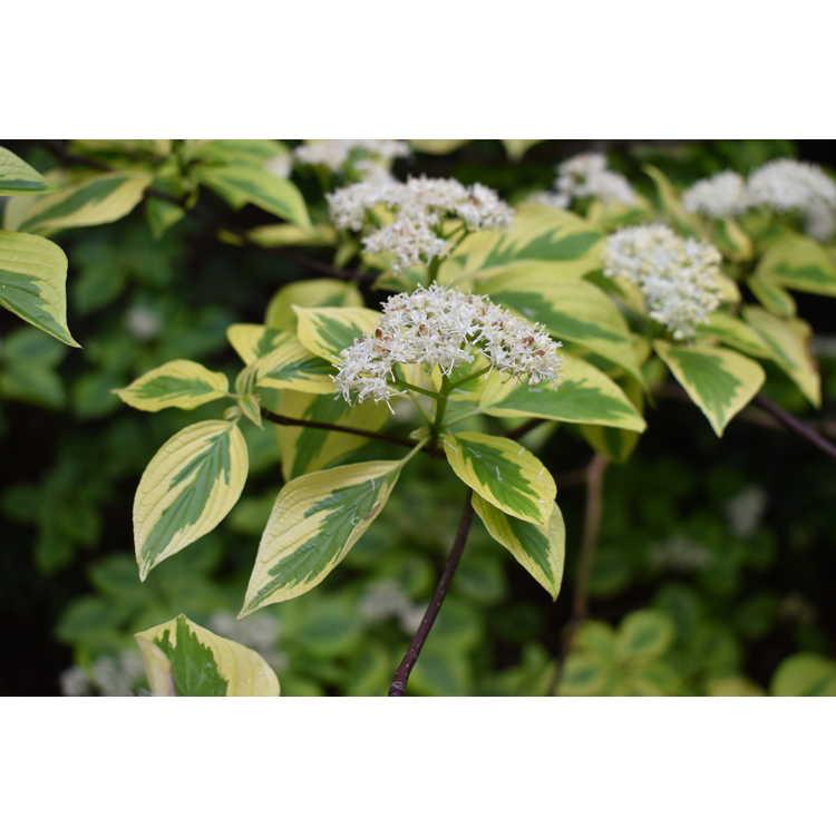 Cornus alternifolia 'W. Stackman'